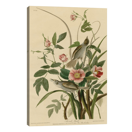"Seaside Finch // John James Audubon (26""W x 40""H x 1.5""D)"
