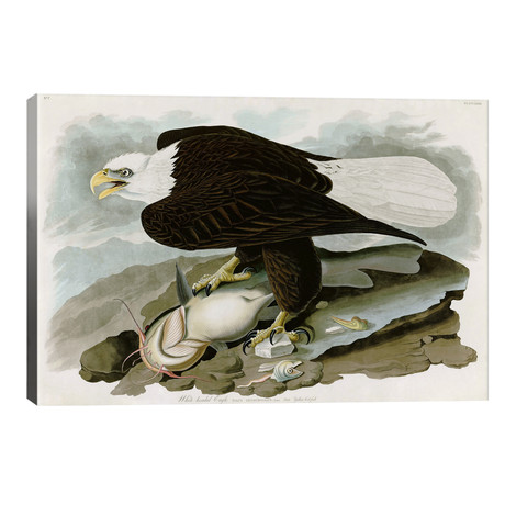 "White-headed Eagle // John James Audubon (40""W x 26""H x 1.5""D)"
