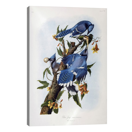"Blue Jay // John James Audubon (26""W x 40""H x 1.5""D)"