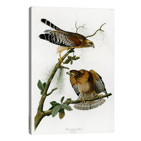 "Red-shouldered Hawk // John James Audubon (26""W x 40""H x 1.5""D)"