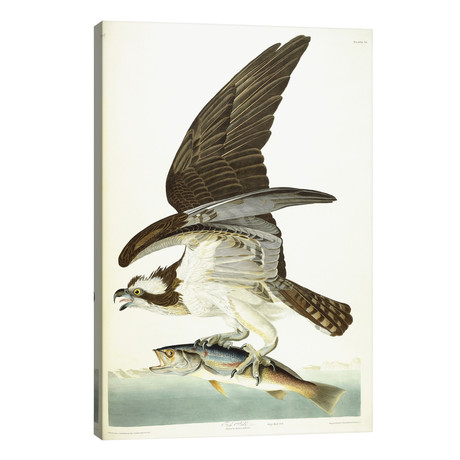 "Fish Hawk, 1830 // John James Audubon (26""W x 40""H x 1.5""D)"