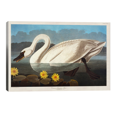 "Common American Swan. Whistling Swan // John James Audubon (40""W x 26""H x 1.5""D)"