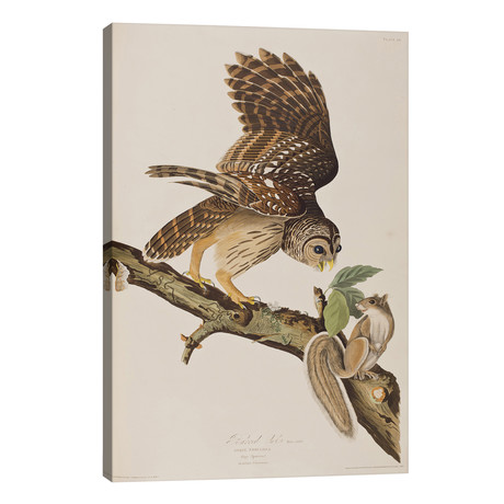 Barred Owl & Grey Squirrel // John James Audubon