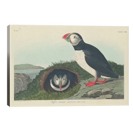 Puffin // John James Audubon