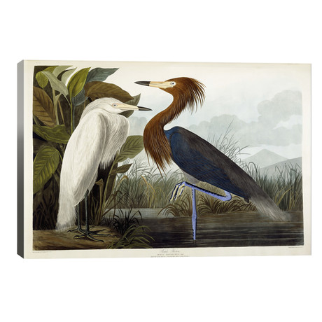 "Purple Heron, c.1835 // John James Audubon (40""W x 26""H x 1.5""D)"