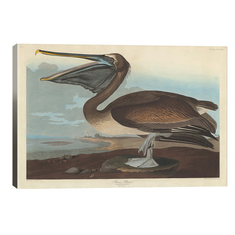 Brown Pelican // John James Audubon