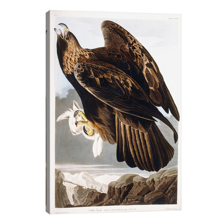"Golden Eagle, 1833 // John James Audubon (26""W x 40""H x 1.5""D)"