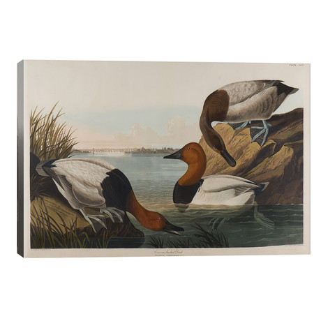 Canvas Backed Duck, 1836 // John James Audubon