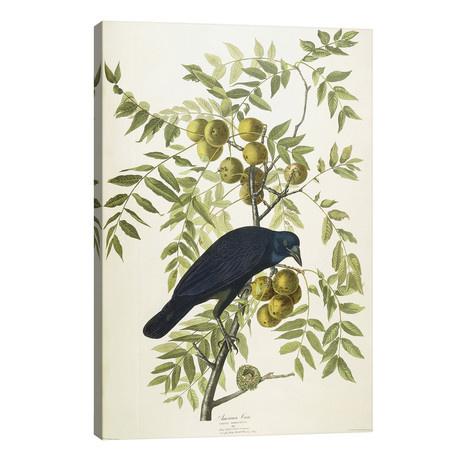 American Crow, 1833 // John James Audubon