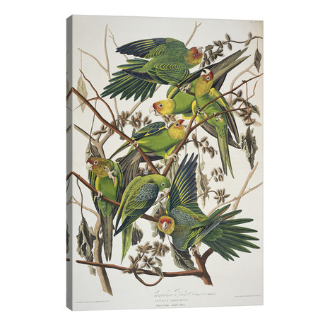 "Carolina Parrot & Cuckle Burr // John James Audubon (26""W x 40""H x 1.5""D)"