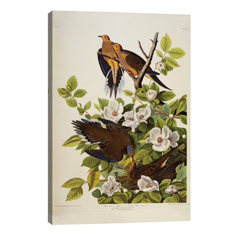 "Carolina Turtledove. Mourning Dove, plate XVII from 'The Birds of America' // John James Audubon (26""W x 40""H x 1.5""D)"