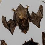 2 Genuine Bats in Lucite
