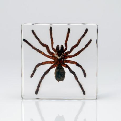 Genuine Tarantula in Lucite // Small
