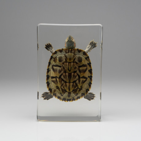 Genuine Turtle in Lucite