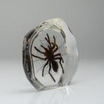 Genuine Tarantula on Web in Lucite