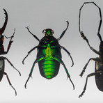 4 Genuine Beetles in Lucite // Antler + Long-Horned + Green Chafer + Stag