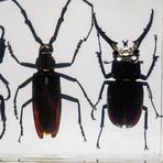 4 Genuine Beetles in Lucite // 2 Stags + Rhinoceros Beetle + Long-Horn