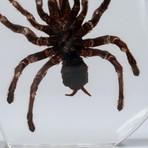 Genuine Tarantula in Lucite
