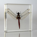 Genuine Dragonfly in Lucite