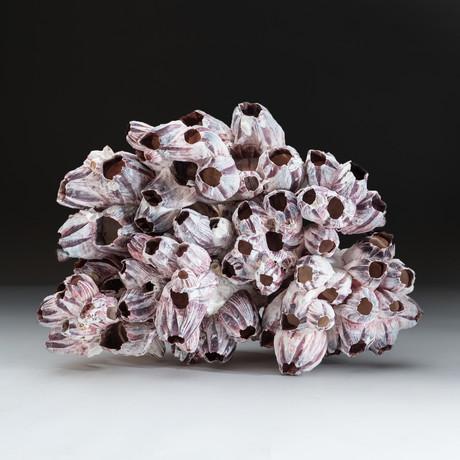 Natural Purple Acorn Barnacle Cluster