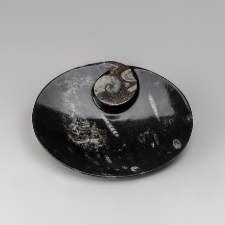 Genuine Polished Round Orthoceras Fossil Dish
