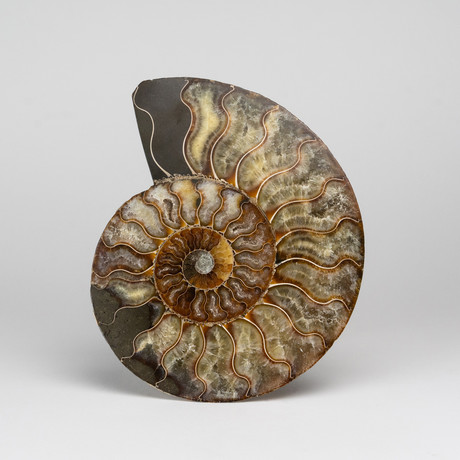Genuine Polished Calcified Ammonite Slice
