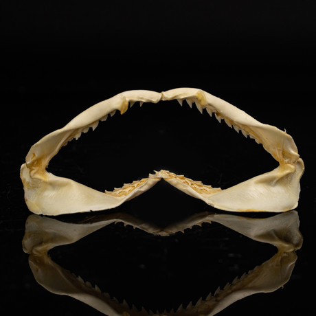 Genuine Black Tip Shark Jaw // Small
