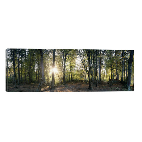 "Trees in a Forest, Black Forest, Freiburg im Breisgau, Baden-Wurttemberg, Germany // Panoramic Images (60""W x 20""H x 0.75""D)"