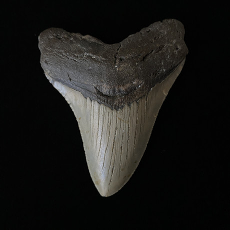 """4.01"""" Megalodon Tooth"""