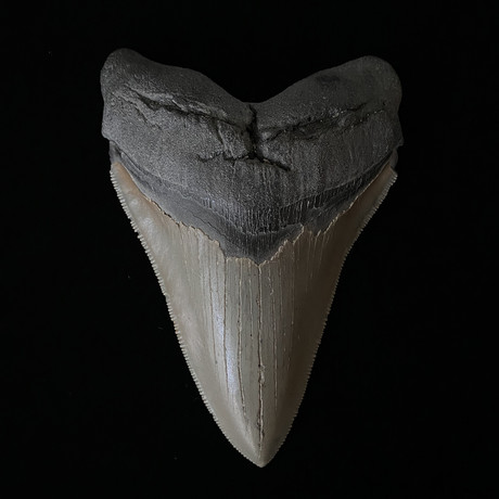 """4.91"""" High Quality Serrated Megalodon Tooth"""
