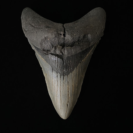 """5.43"""" Sharp Lower Megalodon Tooth"""