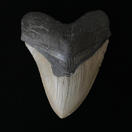 """5.19"""" High Quality Megalodon Tooth"""