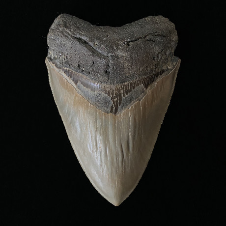 """4.83"""" High Quality Serrated Megalodon Tooth"""