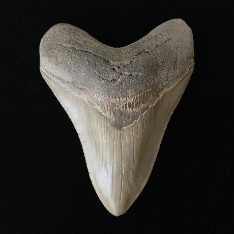 """4.35"""" Serrated Megalodon Tooth"""