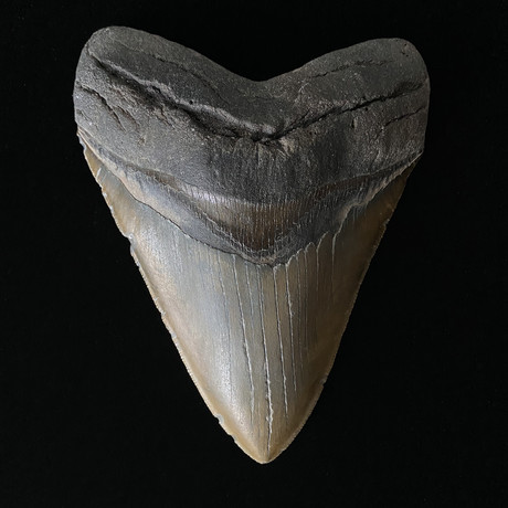 """5.72"""" Massive High Qaulity Serrated Megalodon Tooth"""