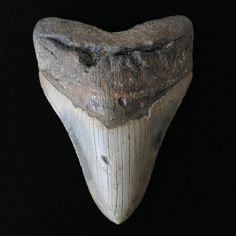"""5.54"""" Massive Megalodon Tooth"""