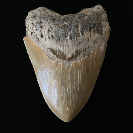 """4.93"""" High Quality Serrated Megalodon Tooth"""