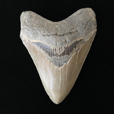 """4.63"""" High Quality Serrated Megalodon Tooth"""
