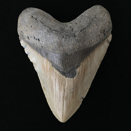 """5.80"""" Massive Megalodon Tooth"""