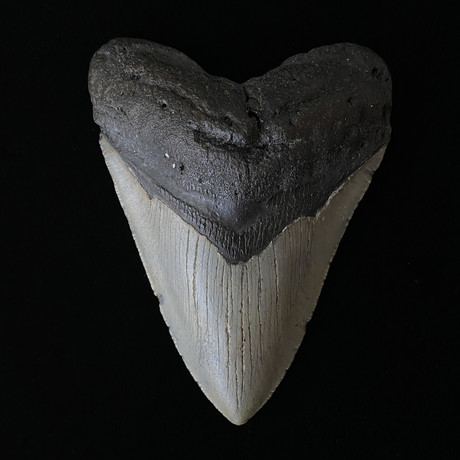 """5.06"""" Megalodon Tooth"""