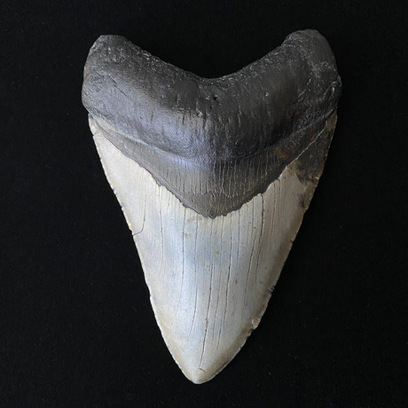 """5.48"""" Perfect Serrated Megalodon Tooth"""