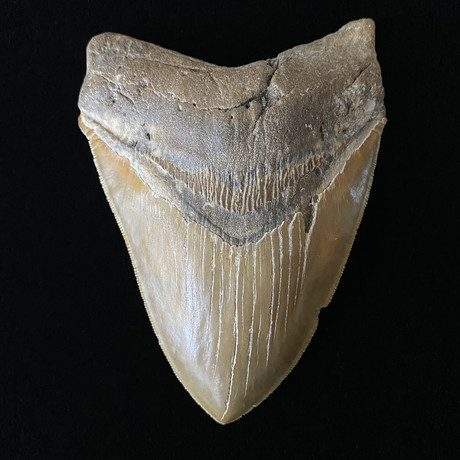 """5.23"""" High Quality Serrated Megalodon Tooth"""
