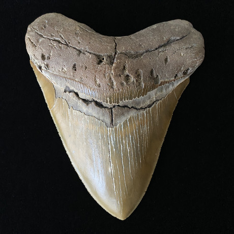 """5.24"""" High Quality Serrated Megalodon Tooth"""