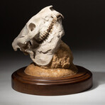 Genuine Museum Quality Oreodont Fossil Skull + Custom Display Stand