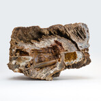 Genuine Natural Fossilized // Agatized Coral