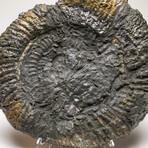 Genuine Natural Large Pyratized Ammonite Half