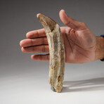 Genuine Natural Spinosaurus Dinosaur Tooth + Display Box // Large