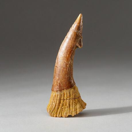 Genuine Natural Sawfish Tooth + Display Box // V5