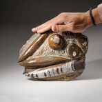 Genuine Polished Orthoceras Fossil Plate // V2