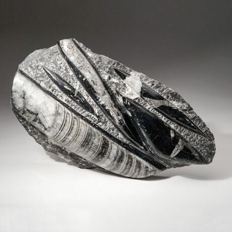 Genuine Polished Orthoceras Fossil Plate // V3